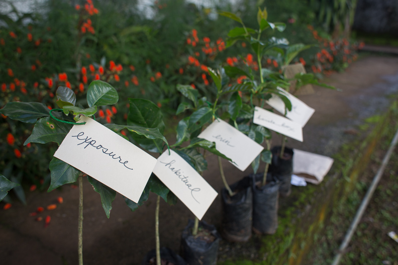 We are now the proud owners of our very own coffee seedling!